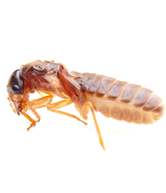 Termite Pest Control Protection Perth