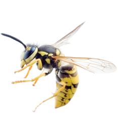 Wasps removal Perth